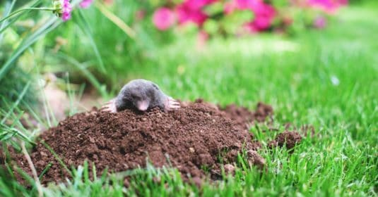 How to Get Rid of Moles from    Your Garden