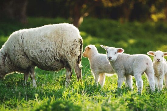 Lambing Preparation: How to Be Ready for the Birth of Your Lamb