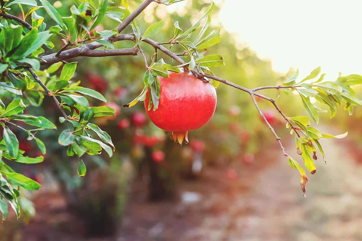 Pomegranate Trees: Best Varieties, Growing Guide, Care, Problems, and Harvest