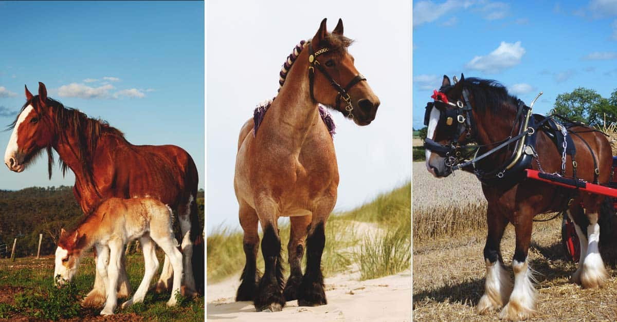 The 10 Best Draft Horse Breeds To Help You On The Homestead