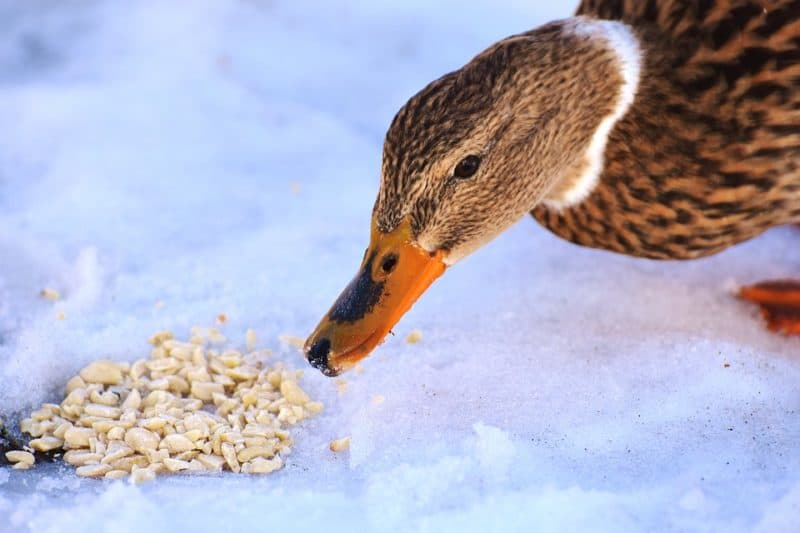 Extra grain is necessary when caring for ducks in winter
