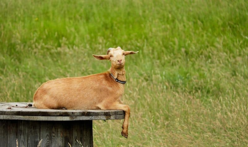 A goat which does not seem to have Caprine Arthritis Encephalitis
