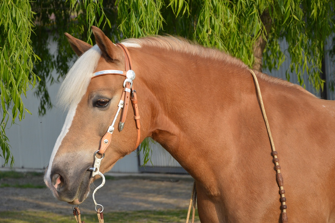 Haflinger is a beautiful option on the list of best draft horses