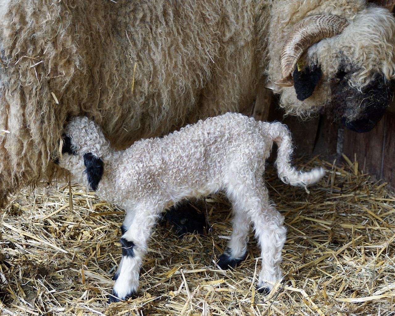 New born lamb suckling