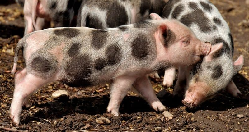 spotted pig is not a common pig disease