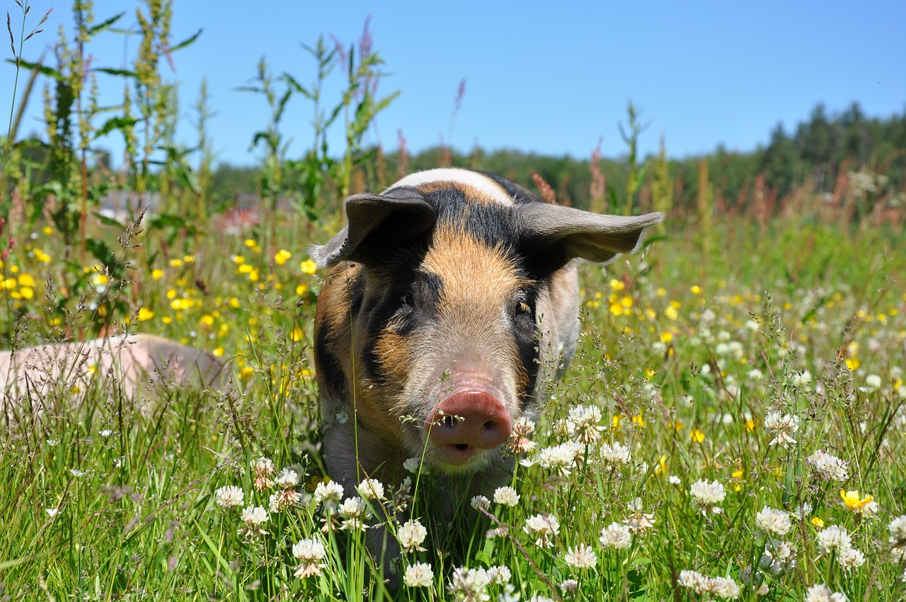 pig escapees
