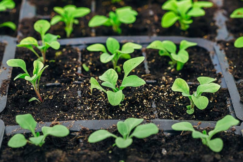 Liquid humic acid can be useful for seedlings