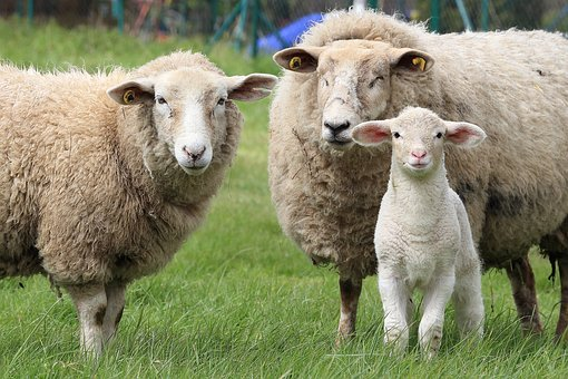 preventing common lambing problems