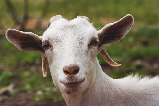Glossary of Goat Terminology