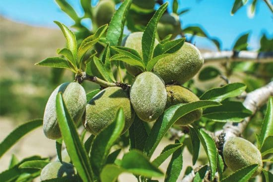 Growing Almonds: Best Varieties, Planting Guide, Care, Problems and Harvest