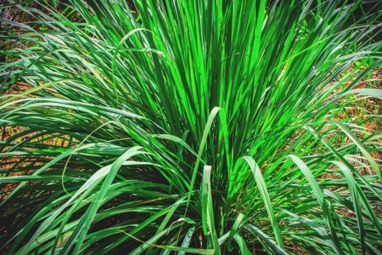 Growing Lemongrass: Best Varieties, Planting Guide, Care, Problems, and Harvest