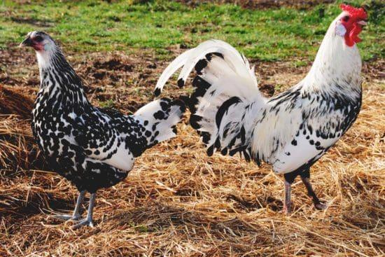 Hamburg Chicken: Compact, Beautiful, Prolific Egg Layers