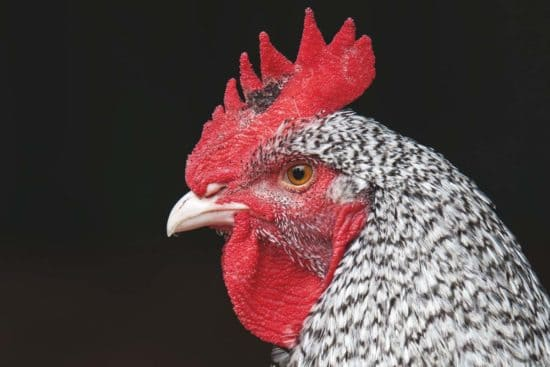 Holland Chicken: A Useful and Critically Endangered Breed