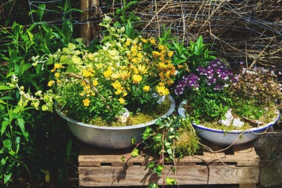 How to Overwinter Perennials Growing in Containers