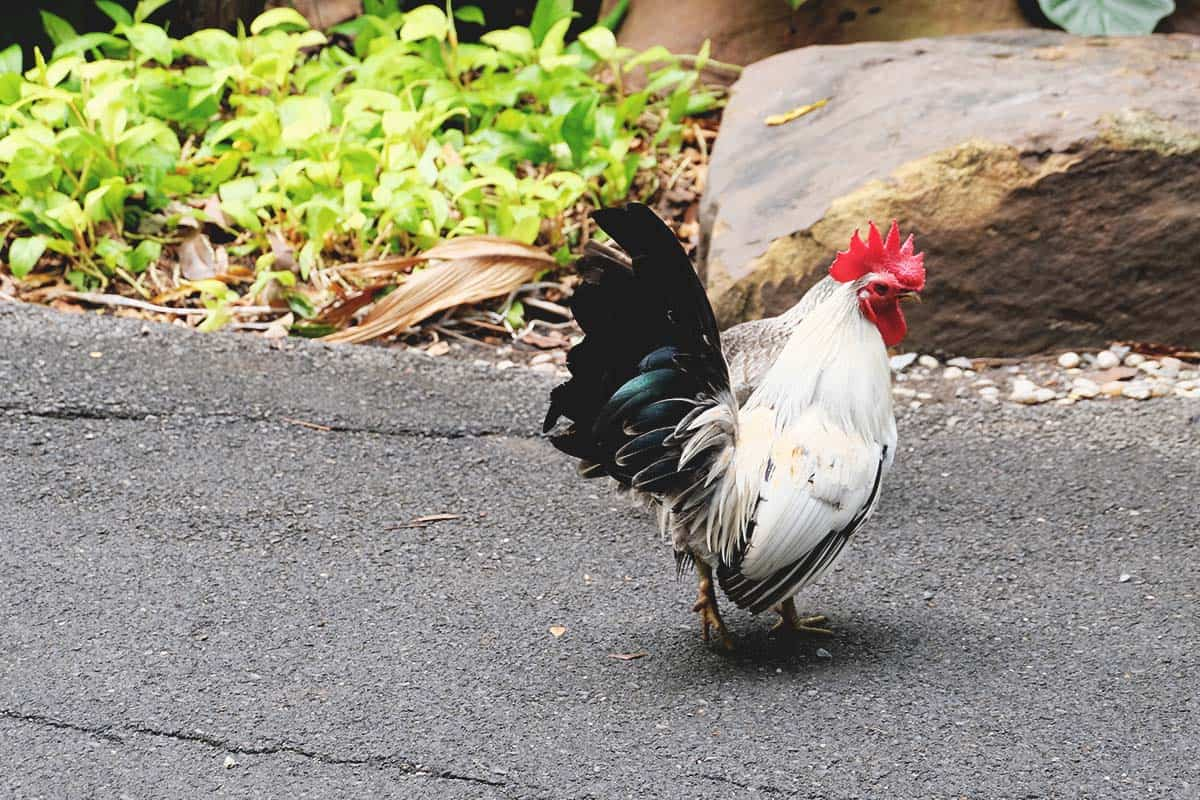 Japanese Bantam Chicken: Tiny Showstoppers