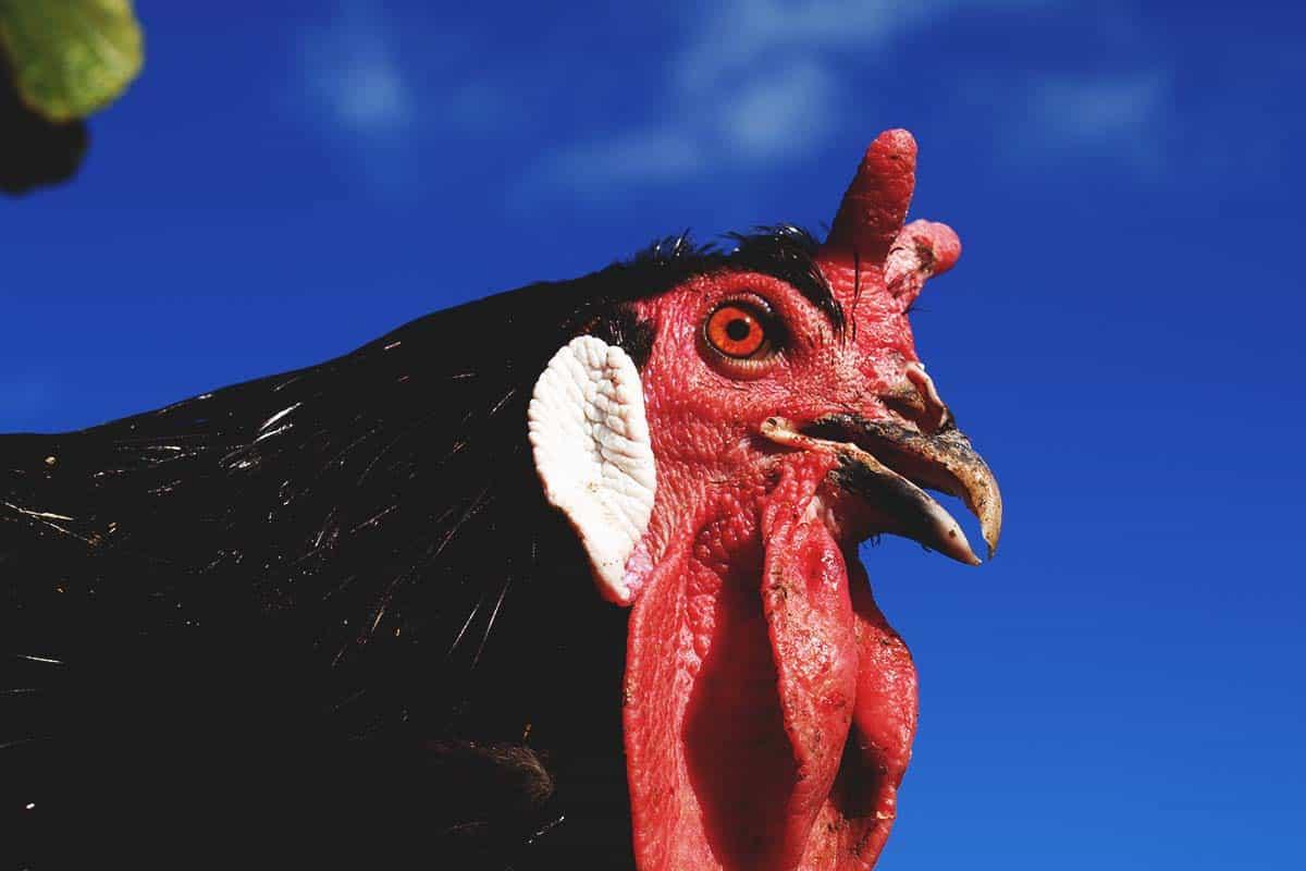La Flèche Chicken: A Unique French Fowl