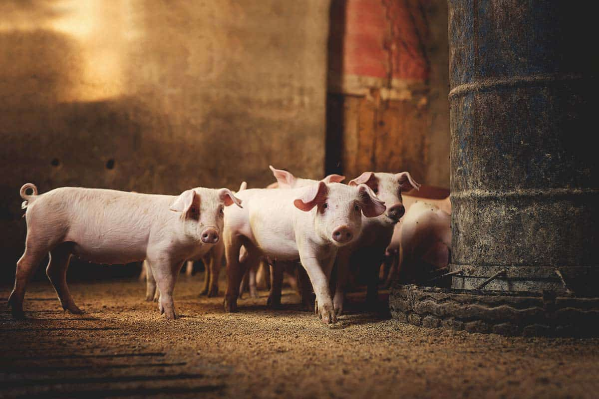 The 10 Most Common Pig Diseases and How to Prevent Them