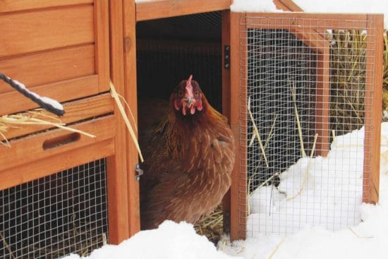 10 Steps to Prepare Your Chicken Coop for Winter