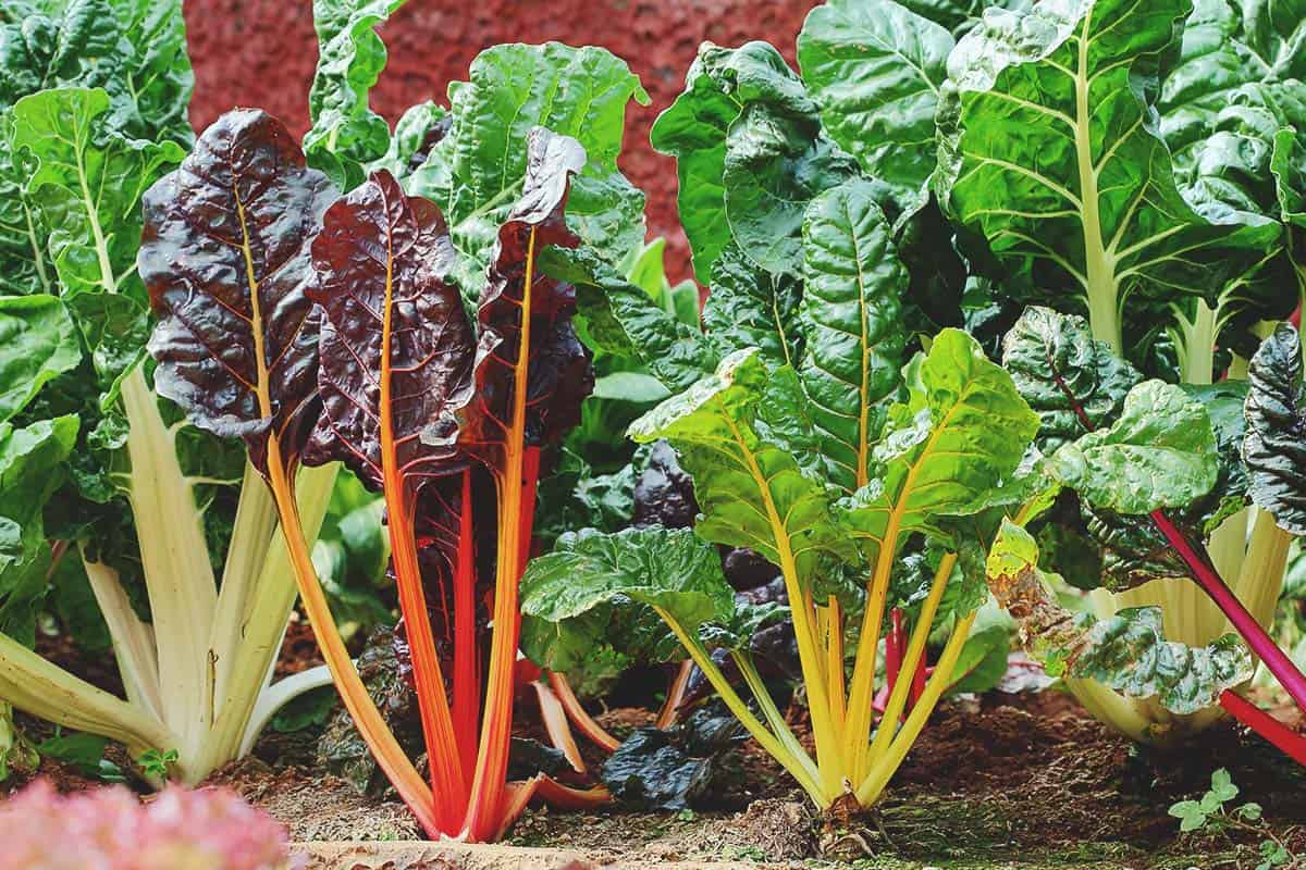 Swiss Chard Best Varieties Planting Guide Care Problems And Harvest