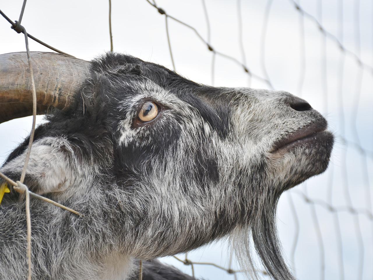Goat horn dangers