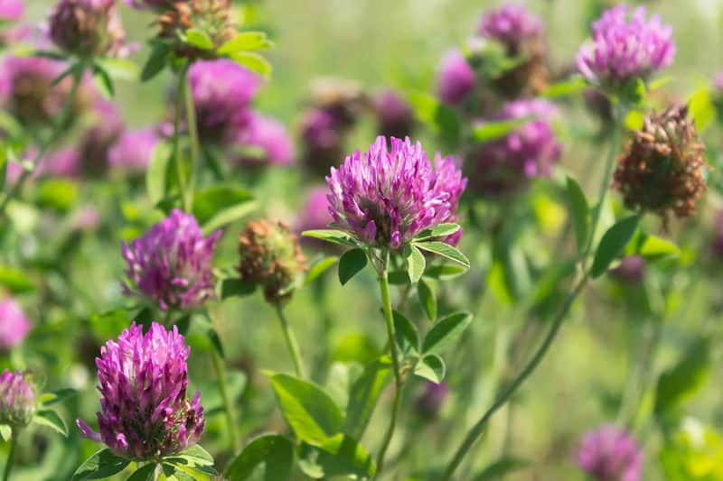 red clover is a beneficial spring cover crop
