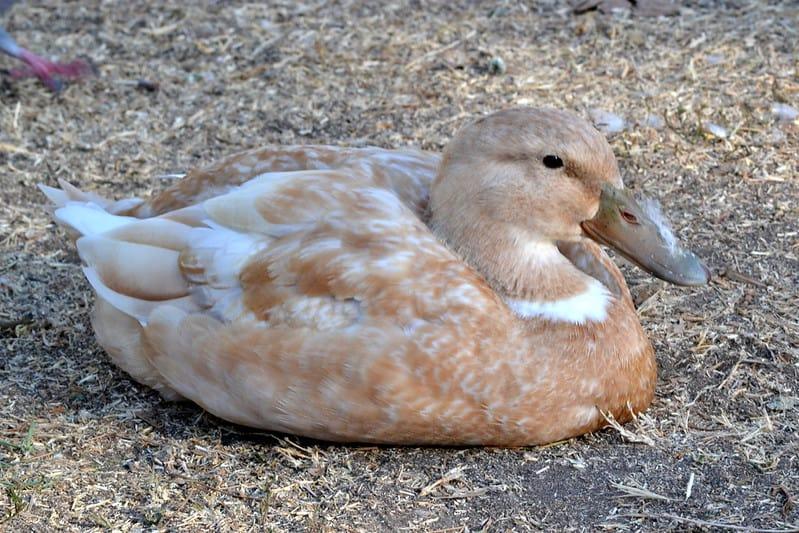 buff duck breed
