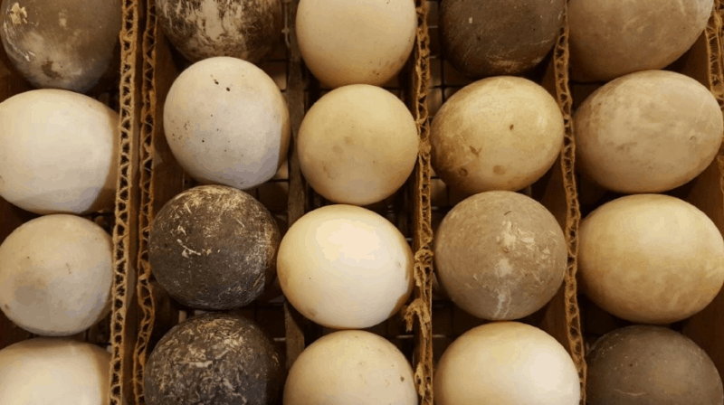 Cayuga duck breeds' eggs