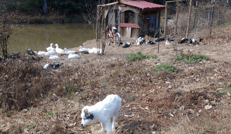 Set up the duck camp to be protected by a guard dog