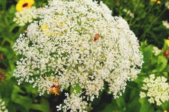 Angelica: Varieties, Planting Guide, Care, Problems, and Harvest