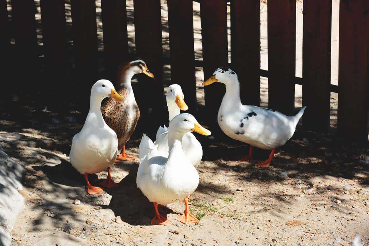 How to Choose the Right Duck Breeds for You