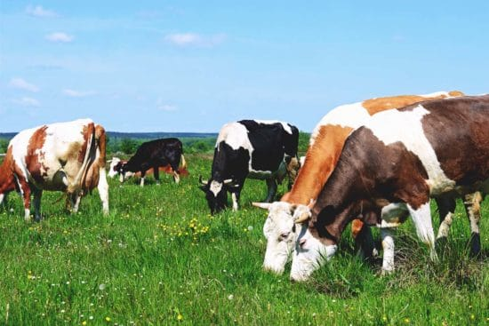 How to Implement and Manage Multispecies Grazing