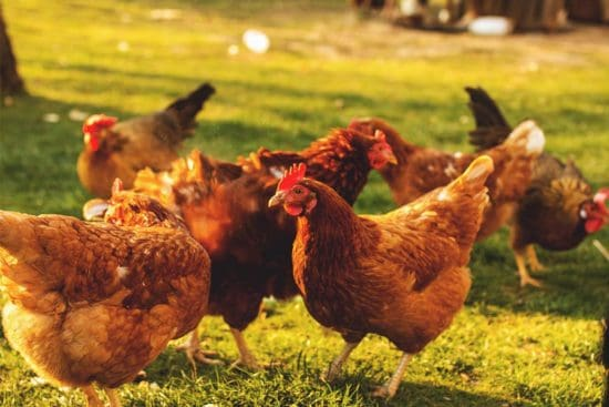 How to Monitor Your Chickens' Health by Looking at Their Droppings
