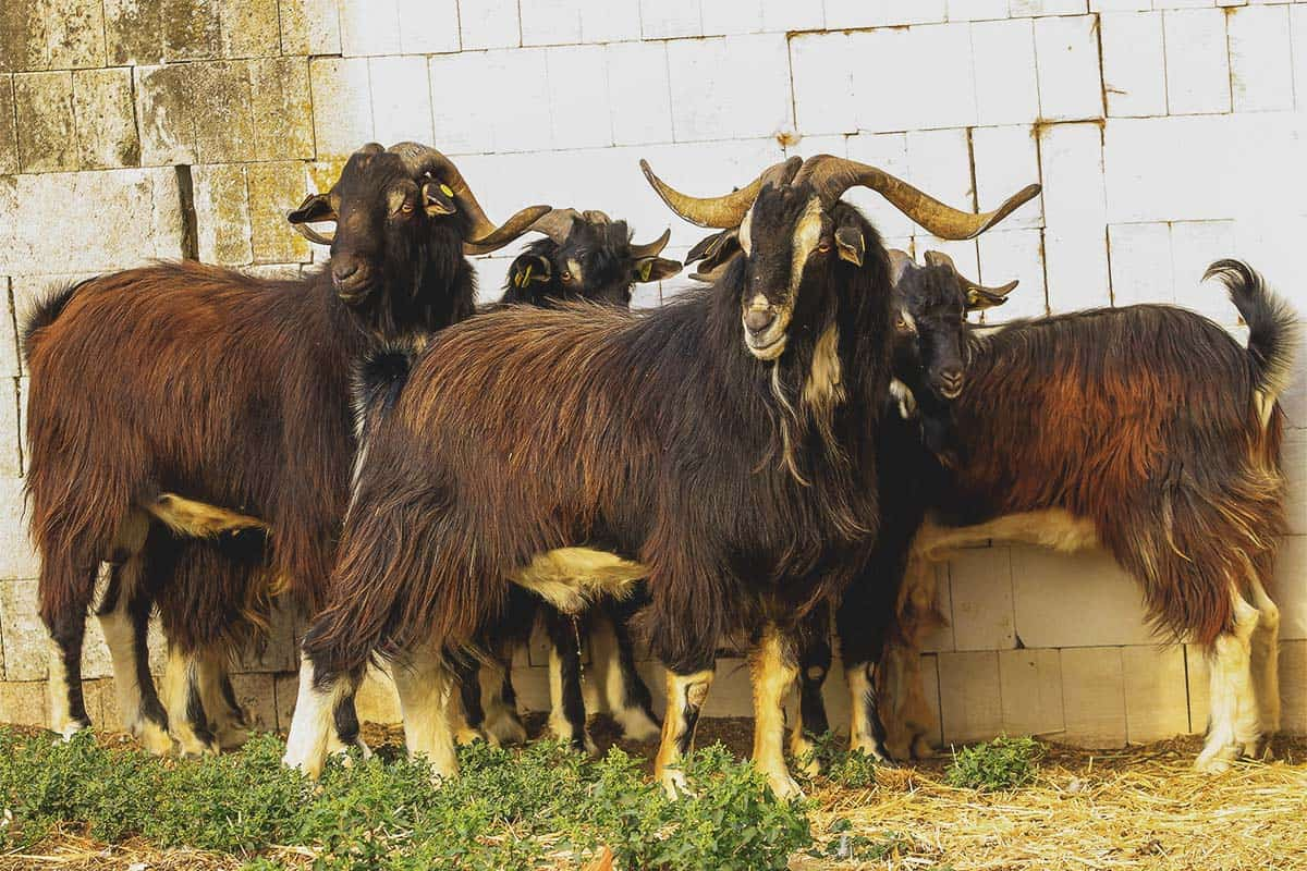 Spanish Goat: Breed Info, Characteristics, and Care