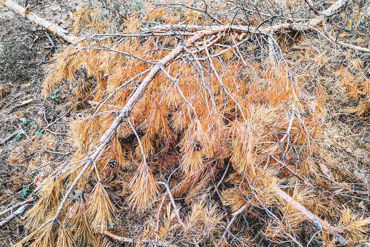 How to Deal With Winter Desiccation Burn in the Garden