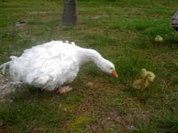 geese breeds - sebastopol