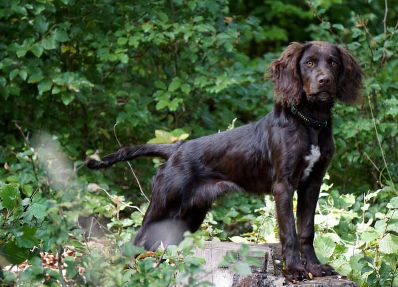 quail can be used for gun dog training making it another avenue for raising quail for profit