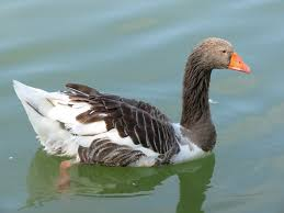 toulouse geese breed