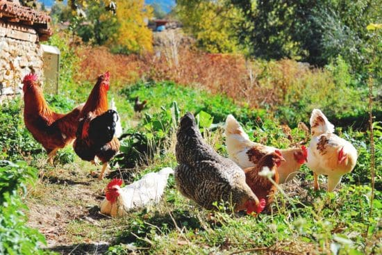 9 Medicinal Herbs for Chickens to Keep Your Flock Healthier