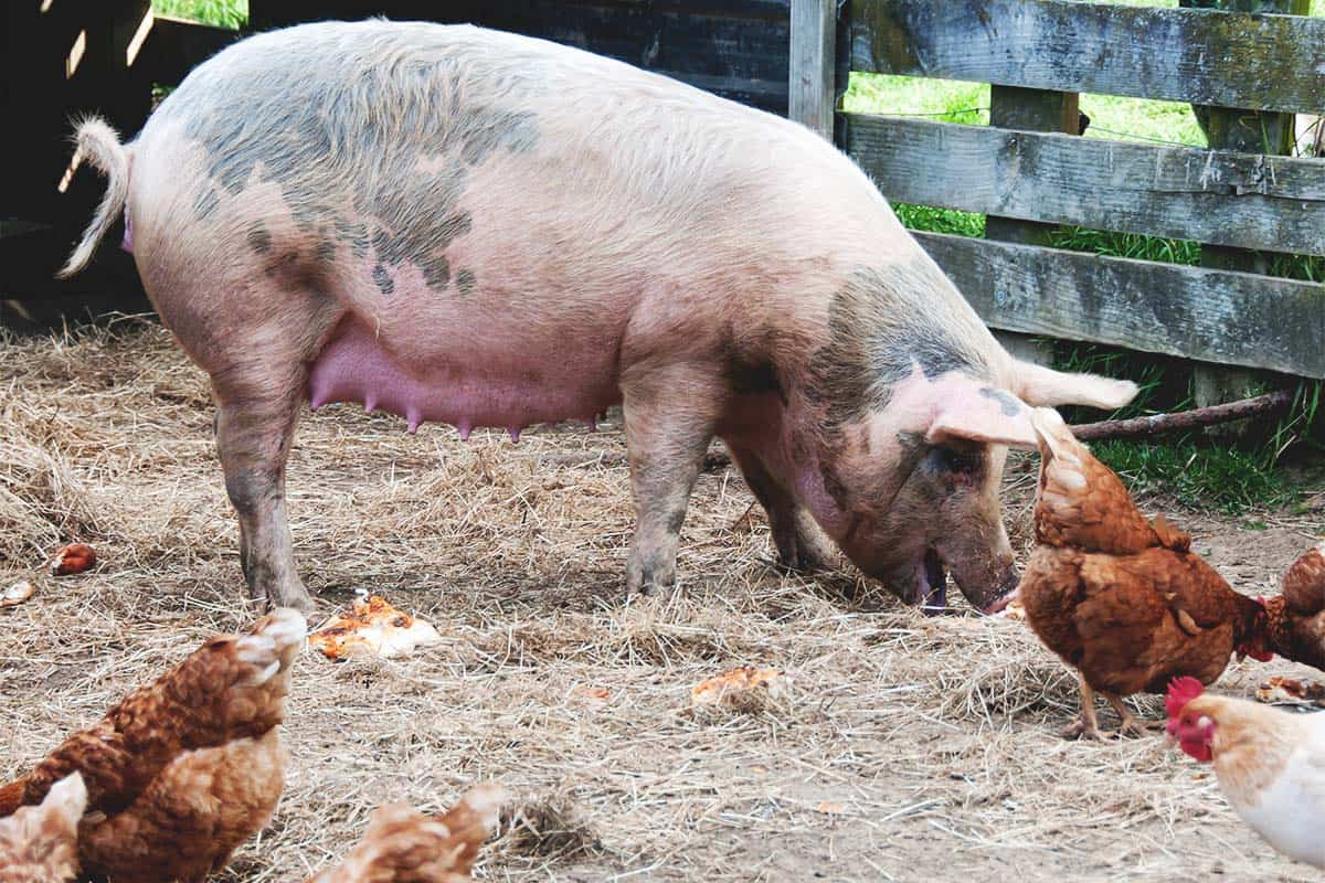 Can You Raise Pigs and Chickens Together?