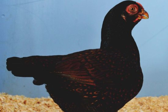 Cornish Chicken: The #1 Heritage Meat Breed