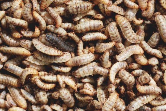 How to Raise Black Soldier Fly Larvae for Chicken Treats