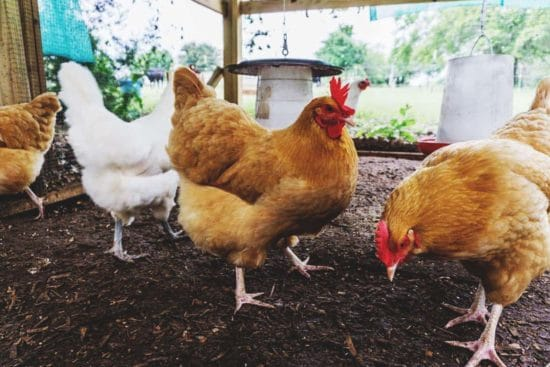 How to Use the Deep Litter Method in Your Chicken Coop