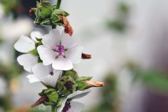 Marshmallow Plant (Althaea Officinalis): Growing Guide, Care, Problems, and Harvest
