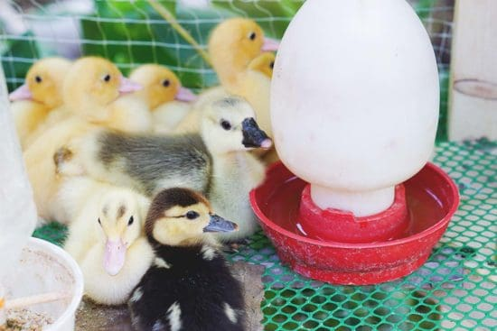 How to Raise Ducklings More Naturally in a Brooder
