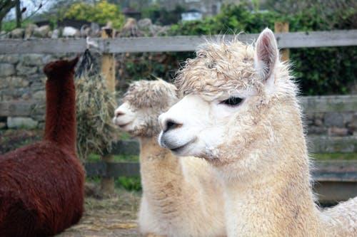 llamas can serve as livestock guardian animals
