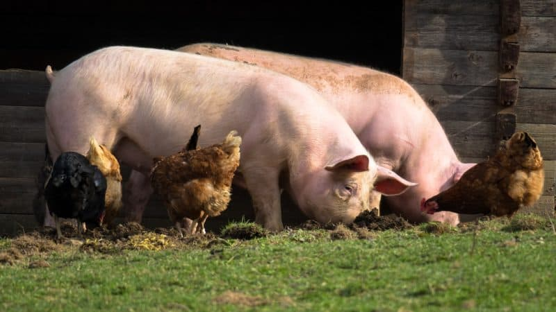 you can raise pigs and chickens together as it can be beneficial for both