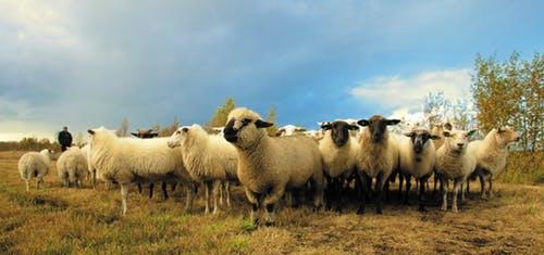 cost cutting tips when raising sheep