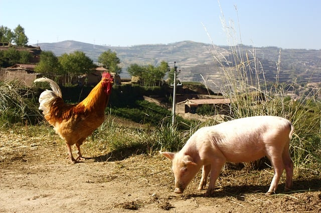 you can raise pigs and chickens together if they have ample space
