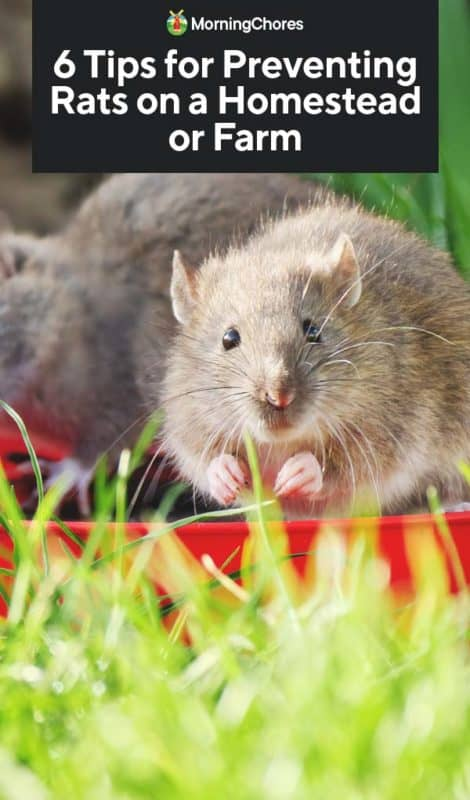 6 Tips For Preventing Rats On Your Homestead Or Farm
