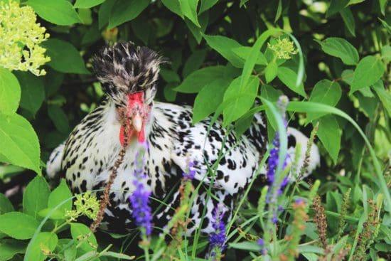 Appenzeller Spitzhauben Chicken: Captivating Egg Layers